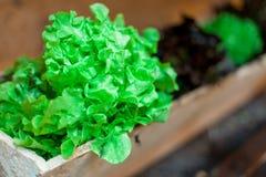 Τα λαχανικά ανάπτυξης στα δοχεία κρεμούν στους τοίχους   Οργανικό υγιές συστατικό τροφίμων   Φωτογραφία τροφίμων Στοκ εικόνες με δικαίωμα ελεύθερης χρήσης