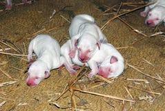 Τα δαλματικά σκυλιά στοκ φωτογραφίες με δικαίωμα ελεύθερης χρήσης