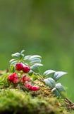 Τα βακκίνια μούρων στα ξύλα (το βακκίνιο, cowberry) Στοκ φωτογραφίες με δικαίωμα ελεύθερης χρήσης