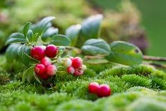 Τα βακκίνια μούρων στα ξύλα (το βακκίνιο, cowberry) Στοκ εικόνα με δικαίωμα ελεύθερης χρήσης