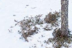 Τα βακκίνια του Μπους στο χιόνι Στοκ φωτογραφία με δικαίωμα ελεύθερης χρήσης