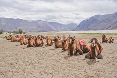Τα βακτριανά είδη διπλασίου οι καμήλες στην κοιλάδα Nubra Στοκ Φωτογραφίες