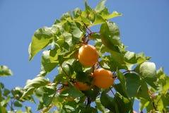 Τα βερίκοκα στο δέντρο ενάντια στο μπλε ουρανό, κλείνουν επάνω στοκ εικόνα με δικαίωμα ελεύθερης χρήσης