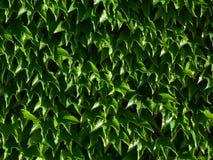 Τα βεραμάν κέρινα φύλλα κισσών της Βοστώνης με το πυκνό φύλλωμα με το λευκό λάμπουν στοκ εικόνες