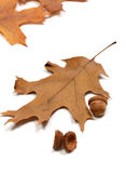 Τα βελανίδια φθινοπώρου και ξηρός βγάζουν φύλλα της βαλανιδιάς Στοκ εικόνες με δικαίωμα ελεύθερης χρήσης