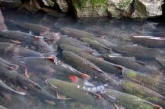 Τα βιετναμέζικα ψάρια Θεών κολυμπούν στο ρεύμα Θεών του εκκέντρου Luong στην επαρχία Thanh Hoa Στοκ Φωτογραφία