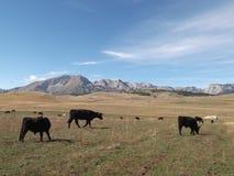 Τα βοοειδή του Angus στοκ φωτογραφία με δικαίωμα ελεύθερης χρήσης