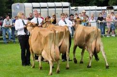 τα βοοειδή cartmel του 2011 γαλα&ka στοκ εικόνες