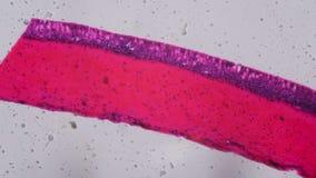 Τα βράγχια Anodonta το επιθήλιο κάτω από το μικροσκόπιο - Abstra απόθεμα βίντεο