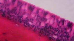 Τα βράγχια Anodonta το επιθήλιο κάτω από το μικροσκόπιο - Abstra φιλμ μικρού μήκους
