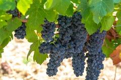 Τα γαλλικά κόκκινα σταφύλια κρασιού AOC φυτεύουν, νέα συγκομιδή του σταφυλιού κρασιού στη Γαλλία, το Vaucluse, την περιοχή ή τον  στοκ φωτογραφίες με δικαίωμα ελεύθερης χρήσης