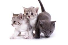 τα γατάκια ανασκόπησης παίζουν το λευκό Στοκ Εικόνα
