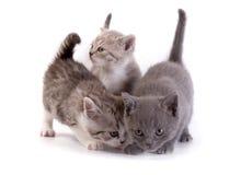 τα γατάκια ανασκόπησης παίζουν το λευκό Στοκ Φωτογραφία