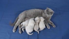 Τα γατάκια θηλάζουν από τη μητέρα, βρετανική φυλή Shorthair απόθεμα βίντεο