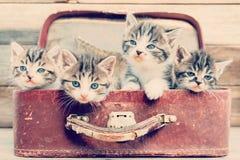 Τα γατάκια κοιτάζουν έξω από τη βαλίτσα Στοκ Εικόνα