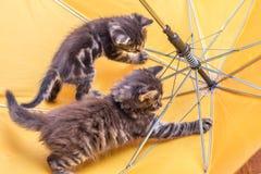 Τα γατάκια παίζουν στην ομπρέλα Κίτρινα ομπρέλα και γατάκια Στοκ εικόνα με δικαίωμα ελεύθερης χρήσης