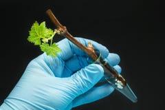 Τα γενετικά τροποποιημένα σταφύλια βλαστάνουν σε ένα φιαλίδιο γυαλιού σε ένα φορημένο γάντια χέρι σε ένα μαύρο υπόβαθρο στοκ φωτογραφία με δικαίωμα ελεύθερης χρήσης