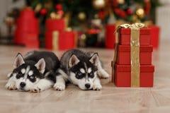 Τα γεροδεμένα γραπτά χριστουγεννιάτικα δέντρα κουταβιών είναι μέσα Στοκ εικόνα με δικαίωμα ελεύθερης χρήσης