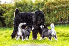 Τα γεροδεμένα κουτάβια εξοικειώνονται με το μεγάλο σκυλί Στοκ Εικόνα