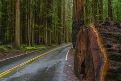 Τα γιγαντιαία κόκκινα δέντρα κέδρων στο εθνικό πάρκο Redwoods Στοκ Φωτογραφίες
