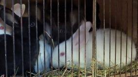Τα γραπτά κουνέλια κάθονται στο κλουβί και τρώνε τη χλόη απόθεμα βίντεο