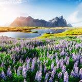 Τα γραφικά τοπία των δασών και βουνά της Ισλανδίας Άγρια μπλε άνθιση lupine Στοκ Φωτογραφίες