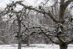 Τα γυμνά δέντρα της Apple καλύπτονται με το χιόνι στο Smokies Στοκ φωτογραφία με δικαίωμα ελεύθερης χρήσης