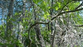 Τα δέντρα, θάμνοι, οι Μπους, όλα καλύπτονται στον Ιστό από το σκώρο πουλί-κερασιών, κλίση επάνω απόθεμα βίντεο