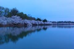 Τα δέντρα κερασιών ανθίζουν στην αιχμή του γύρω από την παλιρροιακή λεκάνη στην ανατολή στο Washington DC, ΗΠΑ στοκ εικόνες