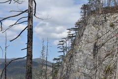 Τα δέντρα μαύρων πευκών στο φαράγγι της Tara, το βαθύτερο ευρωπαϊκό φαράγγι στοκ φωτογραφίες με δικαίωμα ελεύθερης χρήσης