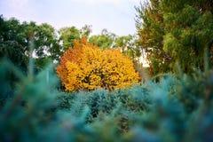 Τα δέντρα με τα χρυσά και πράσινα φύλλα στο πάρκο Στοκ εικόνα με δικαίωμα ελεύθερης χρήσης