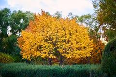 Τα δέντρα με τα χρυσά φύλλα στο πάρκο φθινοπώρου στοκ εικόνα με δικαίωμα ελεύθερης χρήσης