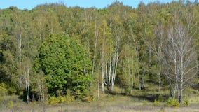 Τα δέντρα μια ημέρα άνοιξη ταλαντεύονται υπαίθρια με ένα αεράκι απόθεμα βίντεο