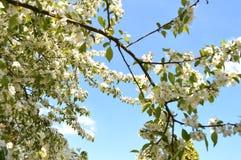 Τα δέντρα της Apple είναι ανθίζοντας Στοκ Φωτογραφία