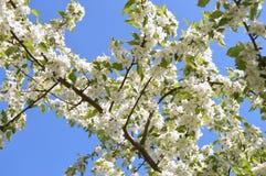 Τα δέντρα της Apple είναι ανθίζοντας Στοκ φωτογραφία με δικαίωμα ελεύθερης χρήσης