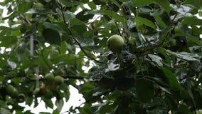 Τα δέντρα της Apple με τα πράσινα μήλα σε έναν κλάδο στη βροχερή ημέρα, σταγονίδια στάζουν τα φύλλα κίνηση αργή φιλμ μικρού μήκους