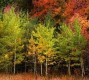 Τα δέντρα της Aspen φθινοπώρου πέφτουν χρυσά φύλλα χρωμάτων και άσπρος χάρτης κορμών στοκ εικόνες