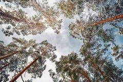 Τα δέντρα χειμερινών πεύκων στο χιόνι κάτω επάνω βλέπουν 2 αριθμοί έκδοσης Στοκ φωτογραφία με δικαίωμα ελεύθερης χρήσης