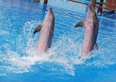 τα δελφίνια εμφανίζουν Στοκ Εικόνα