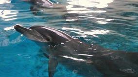 Τα δελφίνια κολυμπούν στη θάλασσα απόθεμα βίντεο