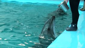 Τα δελφίνια κολυμπούν στη λίμνη που περιμένει τη σίτιση απόθεμα βίντεο