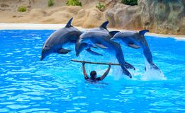 Τα δελφίνια παρουσιάζουν εσωτερικό Loro Parque, Tenerife στοκ φωτογραφία