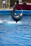 τα δελφίνια ωκεανογραφ&i Στοκ φωτογραφίες με δικαίωμα ελεύθερης χρήσης