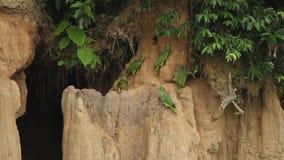 Τα διάφορα είδη παπαγάλων της Αμαζώνας στον άργιλο γλείφουν στη Βραζιλία, χαρακτηριστική συμπεριφορά πουλιών, παπαγάλοι που συλλέ απόθεμα βίντεο
