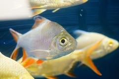 Τα διακοσμητικά ψάρια κολυμπούν στην ομάδα του ενυδρείου Αυτό ` s όμορφο και ενδιαφέρον Στοκ εικόνα με δικαίωμα ελεύθερης χρήσης