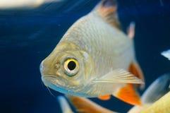 Τα διακοσμητικά ψάρια κολυμπούν στην ομάδα του ενυδρείου Αυτό ` s όμορφο και ενδιαφέρον Στοκ Εικόνες