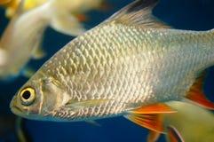 Τα διακοσμητικά ψάρια κολυμπούν στην ομάδα του ενυδρείου Αυτό ` s όμορφο και ενδιαφέρον Στοκ Φωτογραφίες