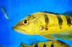 Τα διακοσμητικά ψάρια κολυμπούν στην ομάδα του ενυδρείου Αυτό ` s όμορφο και ενδιαφέρον Στοκ Φωτογραφία