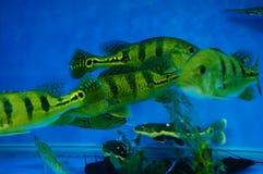 Τα διακοσμητικά ψάρια κολυμπούν στην ομάδα του ενυδρείου Αυτό ` s όμορφο και ενδιαφέρον Στοκ φωτογραφία με δικαίωμα ελεύθερης χρήσης