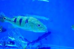 Τα διακοσμητικά ψάρια κολυμπούν στην ομάδα του ενυδρείου Αυτό ` s όμορφο και ενδιαφέρον Στοκ Εικόνα